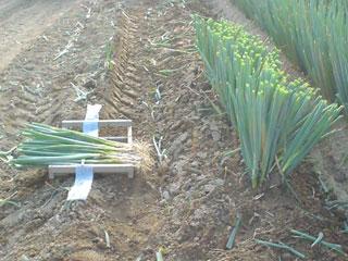 夏ネギ収穫
