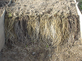 根っこを植える