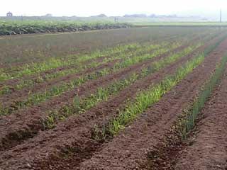 草だらけのネギ畑