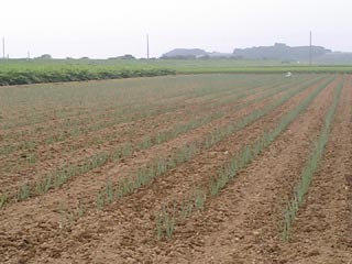草ないネギ畑