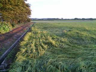 台風で倒伏した稲