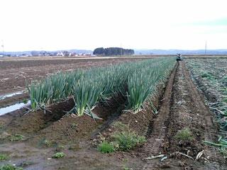 ネギ畑:残り3畝